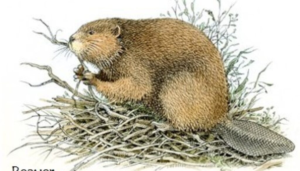 beaver-illustration