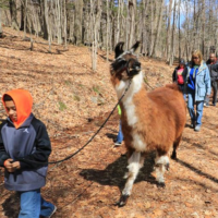 llama-walk-event