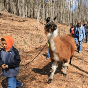 Llama Walk with Debbie Labbe from Country Quilt Llama Farm