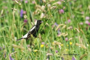 Bobbing for Bobolinks: Hiking Apple Hill & Topsmead with Gerri Griswold @ White Memorial Museum | Litchfield | Connecticut | United States
