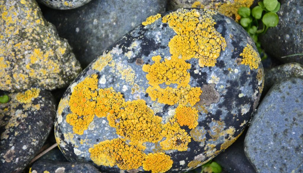 Yellow and black lichen on water worn rock, Macquarie Island. (Photo Barry Becker)_0