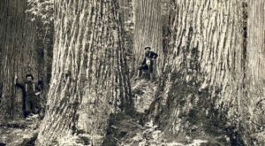Saving the American Chestnut