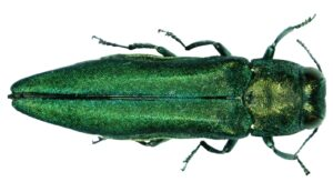 Bored to Death: Emerald Ash Borer