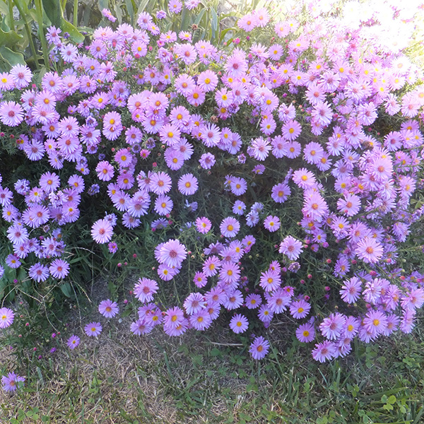 New England American aster