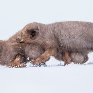 The Arctic Foxes of Iceland with David Gibbon