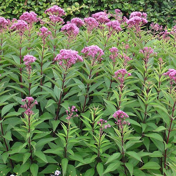 Purple Joe Pye Weed